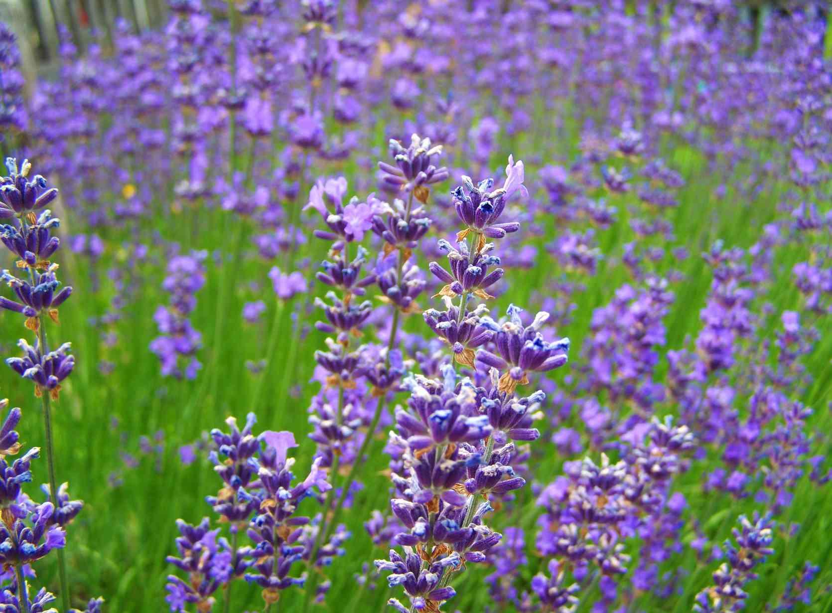 Drought resistant lavender